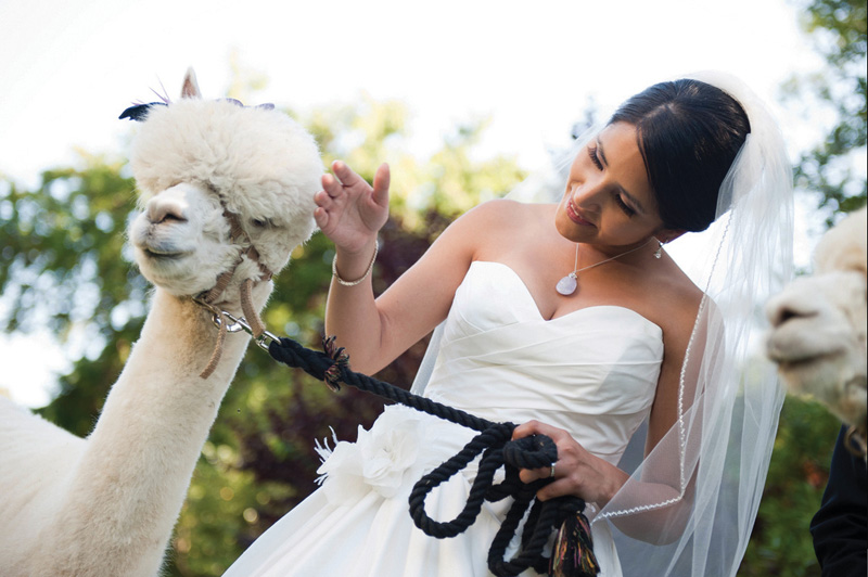 What groom? Cosy up to a cuddly alpaca from Velvet Hall Alpacas instead