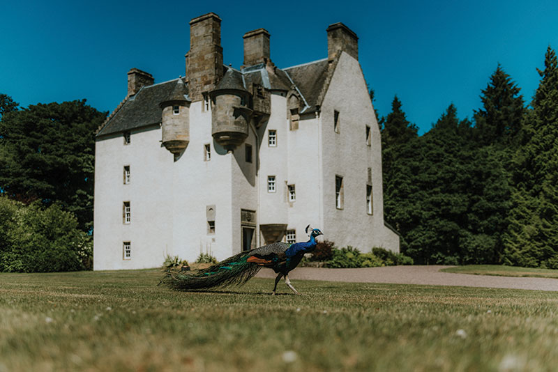 peacock outside castle