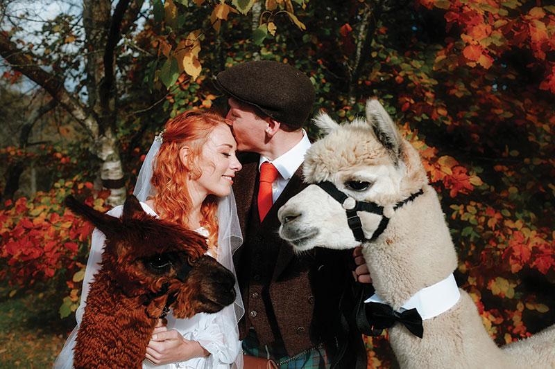alpaca with bride and groom