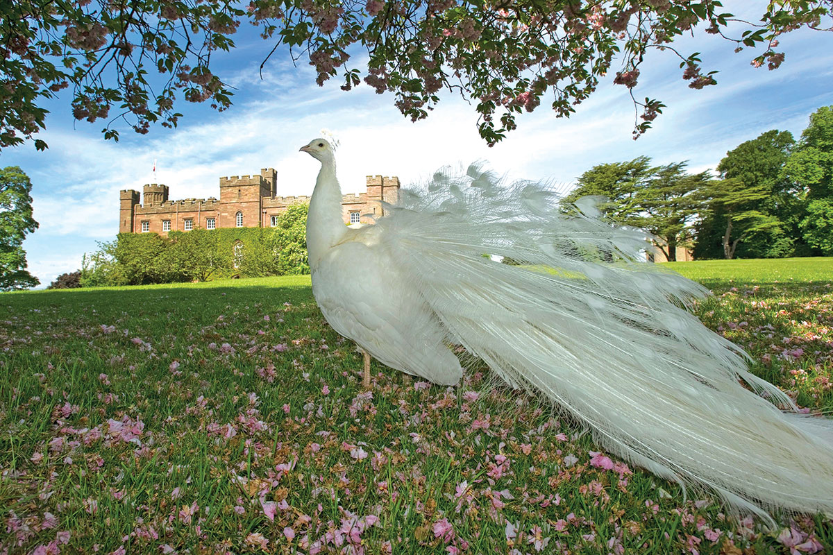 white-peacock-in-grounds-of-scone-palace