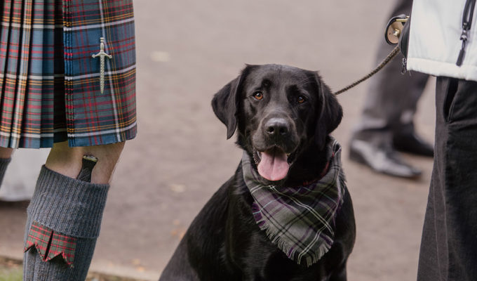 black-labrador-wearing-tartan-bib