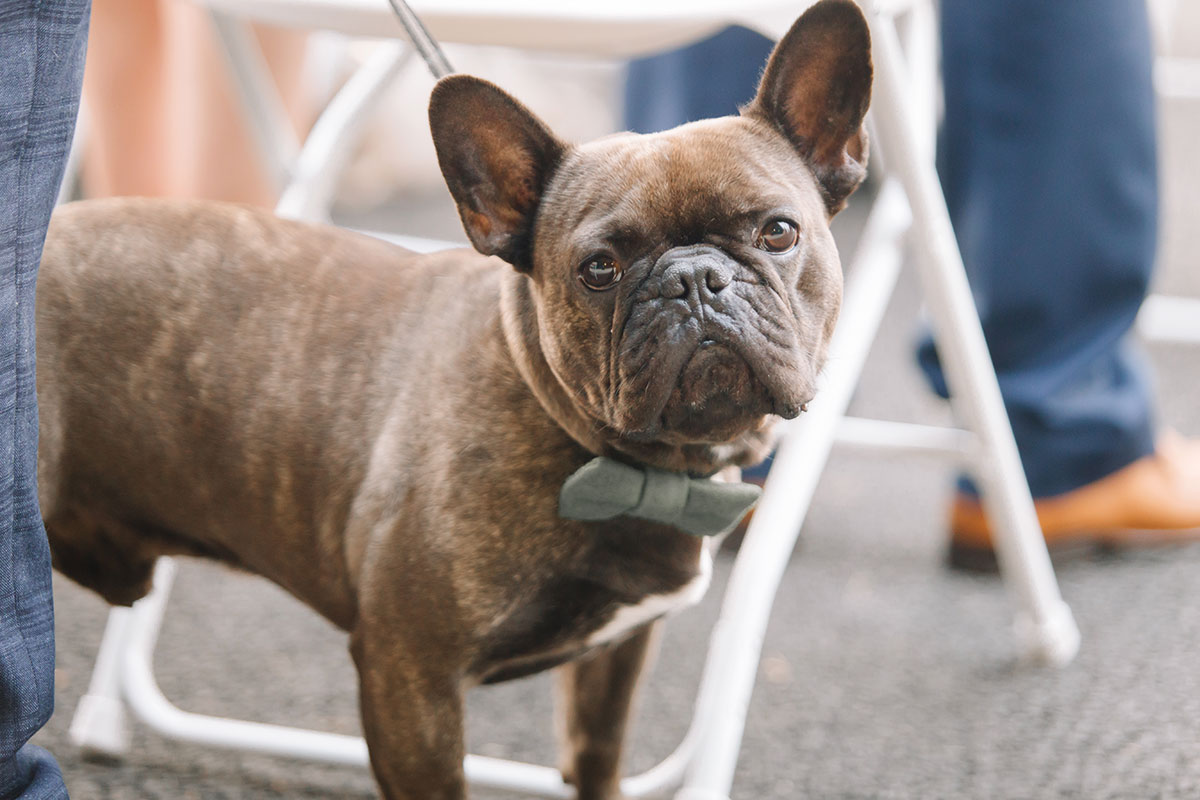 frenchbulldog-wearing-bow-tie-at-wedding