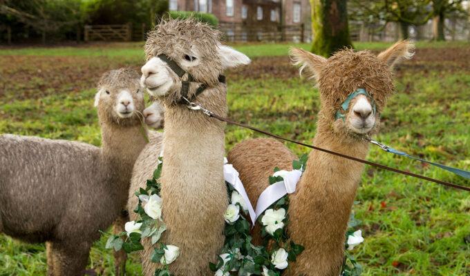 Three West Coast Alpacas wearing floral collars in the grounds of Ardgowan House