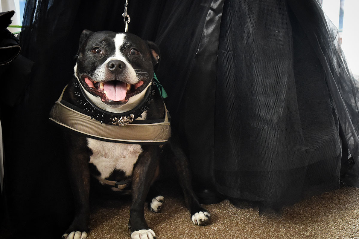 black and white dog pictured with black wedding dress