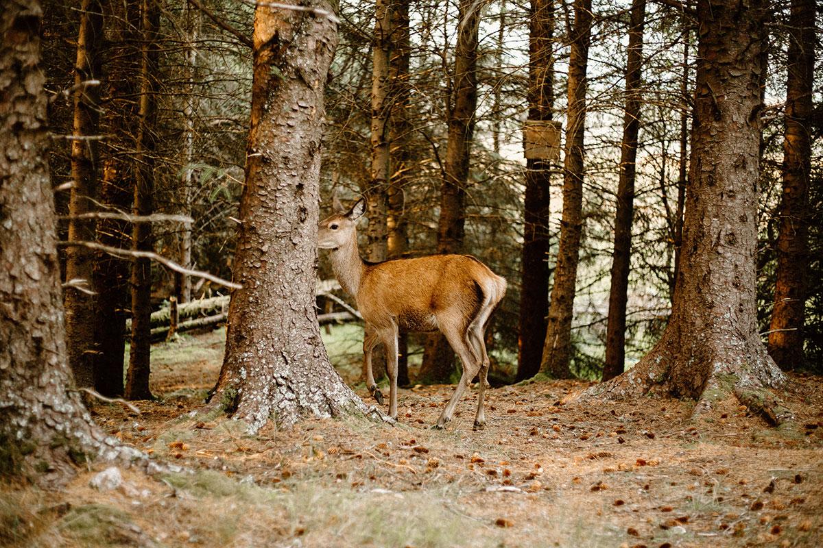 female red deer disappearing behind tree in Glen Coe